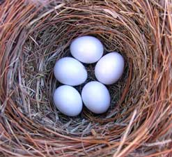 White (whiter than they look in this photo) bluebird eggs, photo by Bet Zimmerman