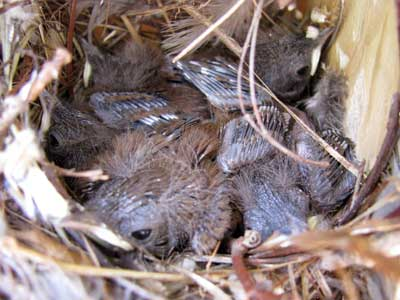 A nest of baby wrens
