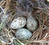 House Sparrow eggs, photo by Bet Zimmerman